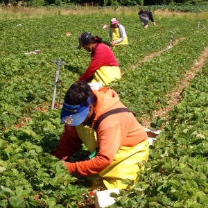 Working in strawberry fields require long days in under the hot sun.
