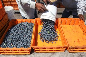 Blueberry harvest in North Carolina. Photo credit: Morgan McCloy, NPR